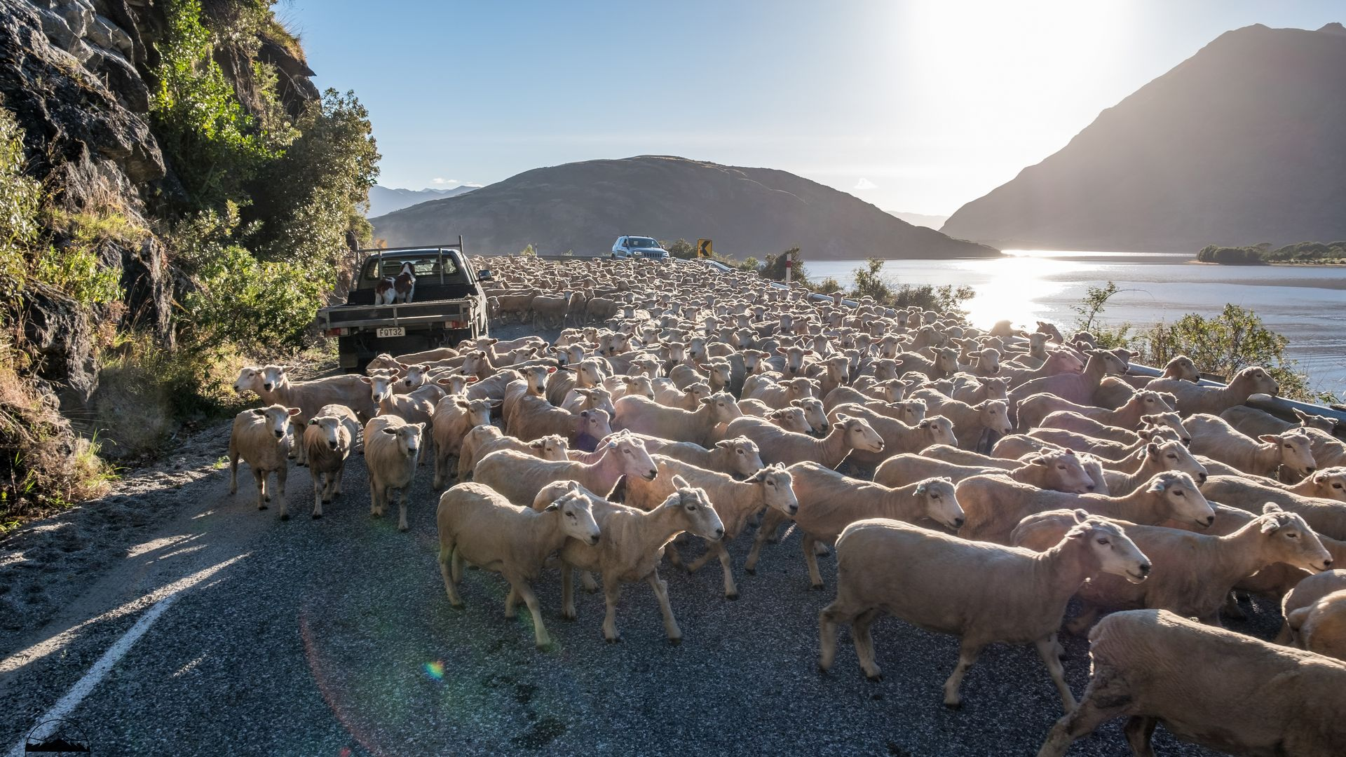 Sheep On The Road NZ | Once Upon A Trip